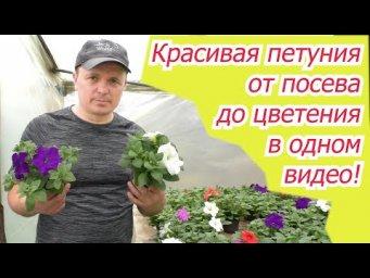 Выращивание петунии от посева до цветения в одном видео.