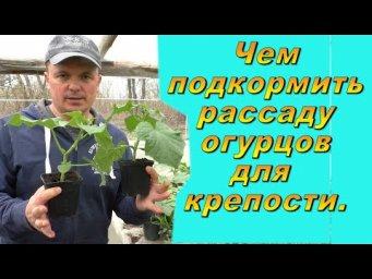 Чем подкормить рассаду огурцов, чтобы она была