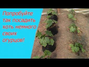 Три способа выращивания огурцов: об этом вам нигде больше не расскажут!