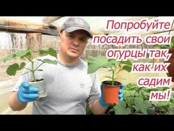 Наш способ посадки огурцов, при котором мы всегда с отличными урожаями!